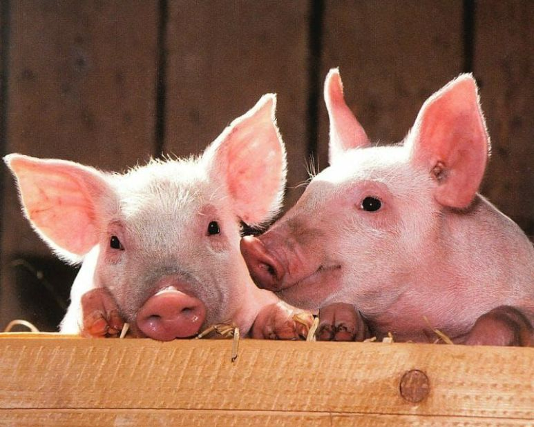 4 Facts That Prove Pigs Are Smarter Than You Think