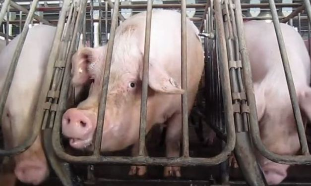 California Measure Could Become World's Strongest Law Banning Cruel Cages for Farm Animals