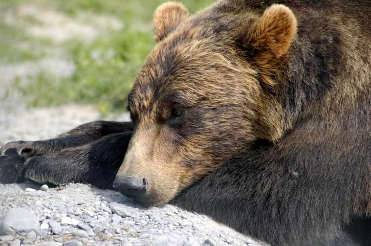 Wyoming Is About to Allow Trophy Hunting of Grizzly Bears – Your Action Needed