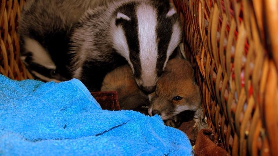 Fox Cub Abandoned in Cardboard Box 'Adopted' by Orphaned Badger Babies