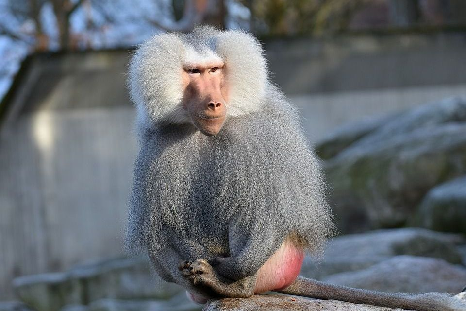 Four Baboons Escape Texas Research Lab