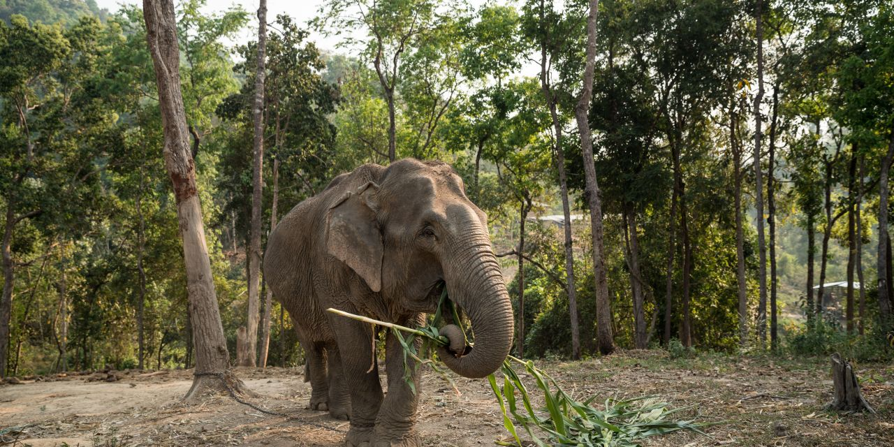 This Elephant Attraction in Thailand is Finally Going Cruelty Free