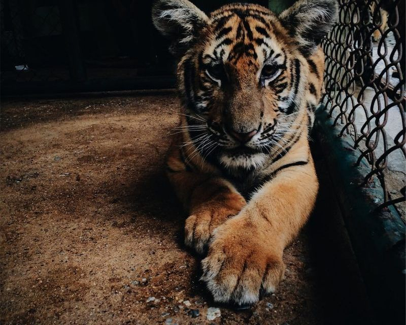 Clueless High School Uses Caged Tiger to Entertain Kids at Prom