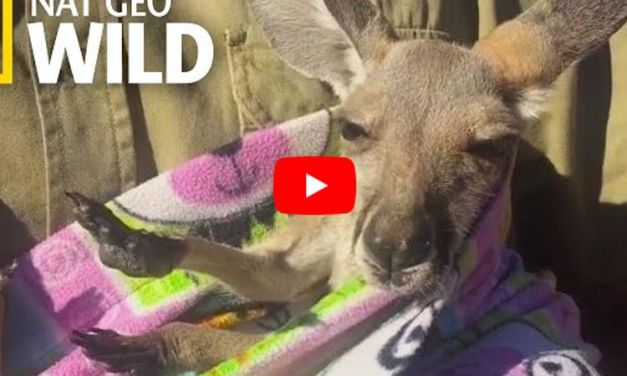 Rescuers Give Orphaned Baby Kangaroo A Homemade Pouch to Get Cozy In