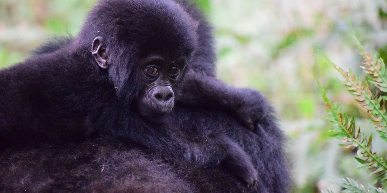Good News: Mountain Gorillas Are Making A Comeback