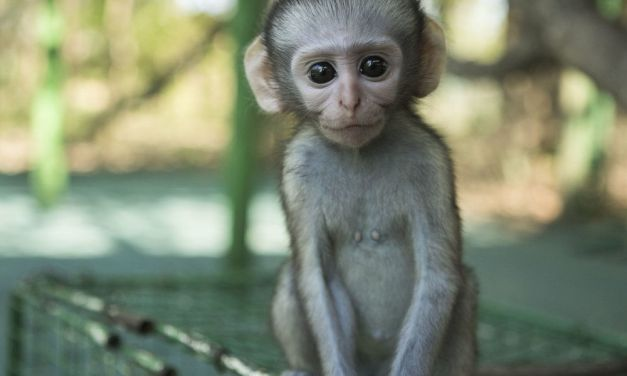 The Vervet Forest Project Aims to Give Rescued Monkeys A Second Chance at Life in the Wild