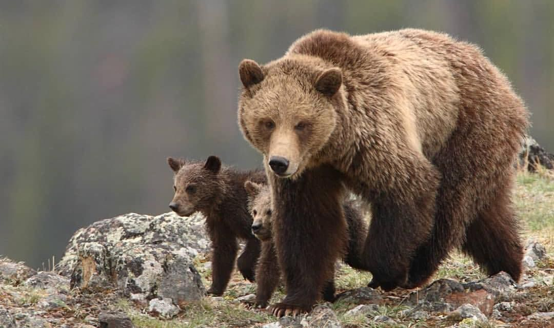 Jane Goodall and Other Activists Are Buying Up Grizzly Hunt Licenses So Bear Hunters Won't Get Them