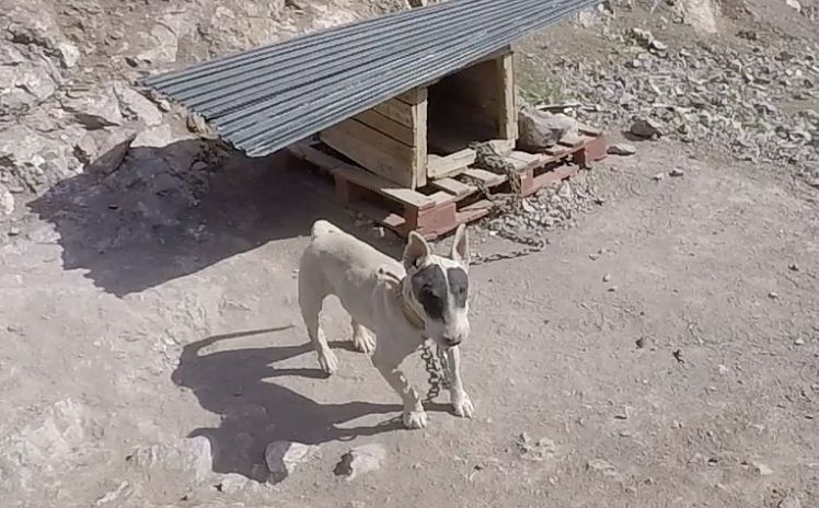 spotted dog on chain