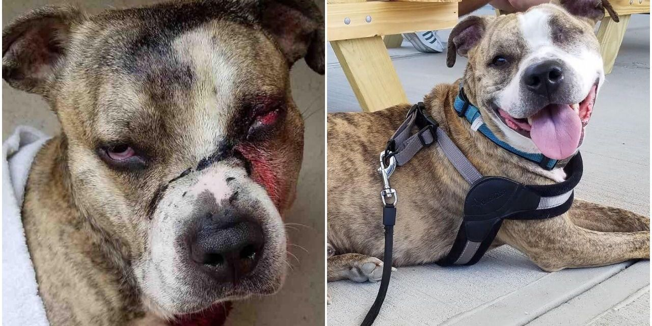 Kind Officer Adopts Pit Bull Found Shot and Covered in Bleach