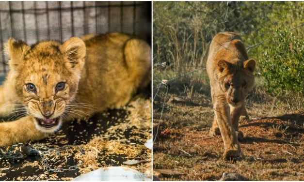 """""""Pet"""" Lion Cub Kept in Tiny Cage and Beaten Finally Knows Freedom"""