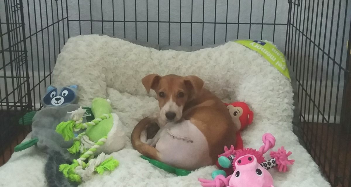 Surgery A Success for Puppy Viciously Hurled from Moving Car