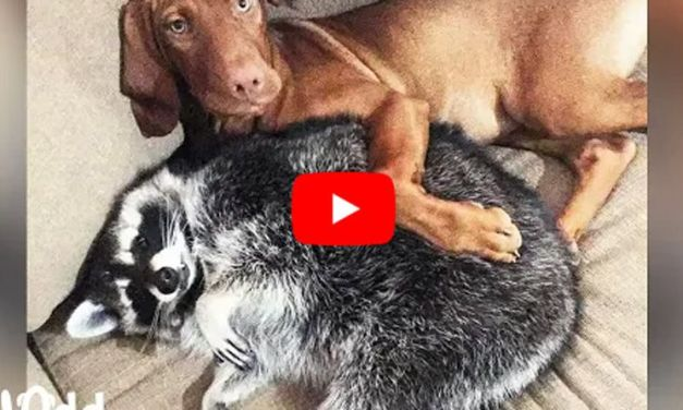 VIDEO: Loyal Dog Follows Her Raccoon 'Sister' Wherever She Goes