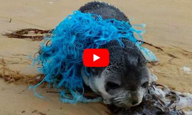 VIDEO: Baby Fur Seal Found Hopelessly Tangled in Fishing Net