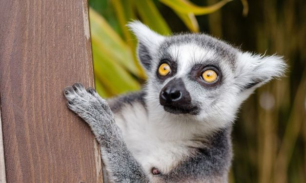 95% of Lemur Species are In Danger of Going Extinct