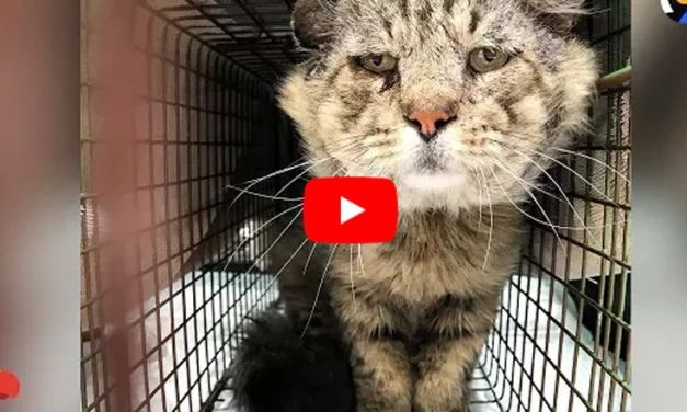 VIDEO: Senior Feral Tomcat is Finally Tamed – And Just Look How His Life Has Changed