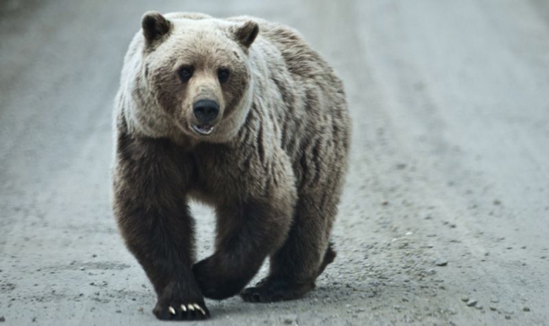 Victory for Grizzly Bears! Court Reinstates Protection as Endangered Species