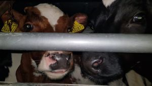 Calves headed for live export from the UK