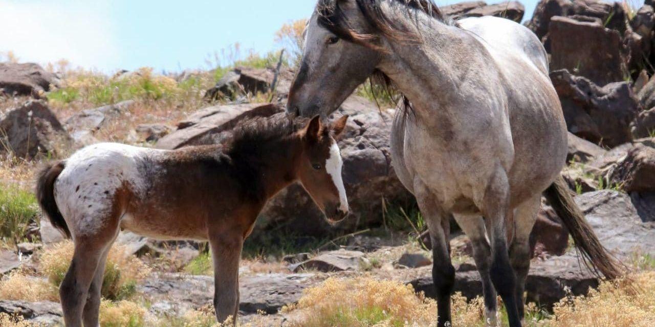 VICTORY! BLM Drops Cruel Sterilization Experiments on America's Wild Horses