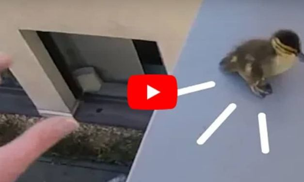 VIDEO: Man Risks Life to Save Family of Ducklings Stuck on Roof