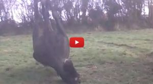 VIDEO: Terrified Horse Runs Himself to Death Because of Fireworks