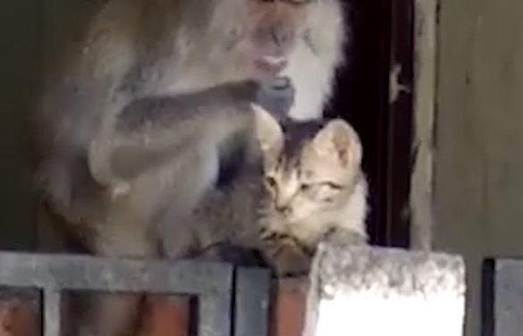 Wild Monkey 'Kidnaps' Kitten – For an Adorable Grooming Session