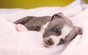sick pit bull puppy