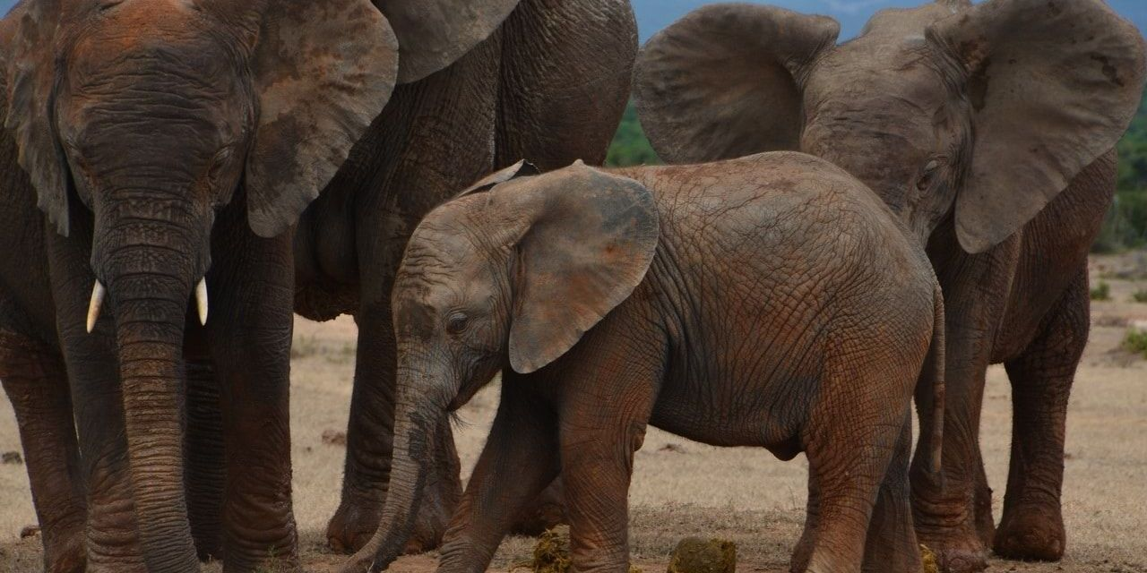 Elephants Are Evolving Without Tusks to Survive Poachers