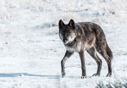 SIGN: Justice for Yellowstone's Most Beloved Wolf, Gunned Down by Trophy Hunter