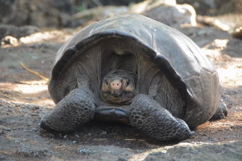 Giant Tortoise Thought to be Extinct for 100 Years Discovered Alive