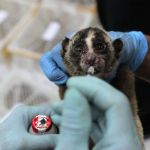 79 Slow Lorises Seized From Poachers, 10 In Critical Condition