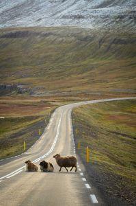 three wild sheep