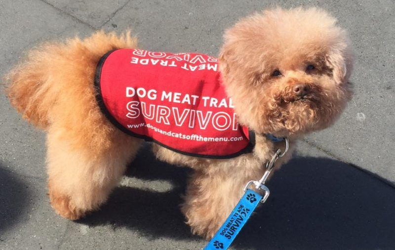 Poodle Saved From Dog Meat Farm is Living the Best Life