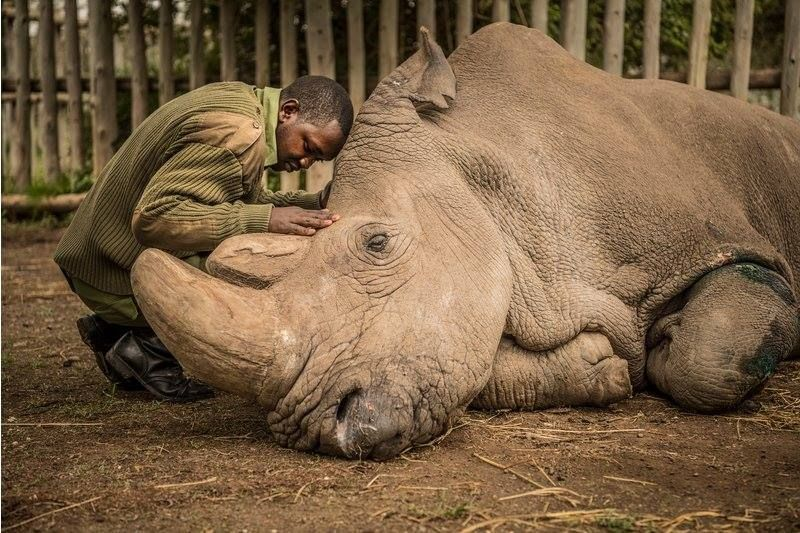 This Scientific Breakthrough Could Save the Northern White Rhino from Extinction