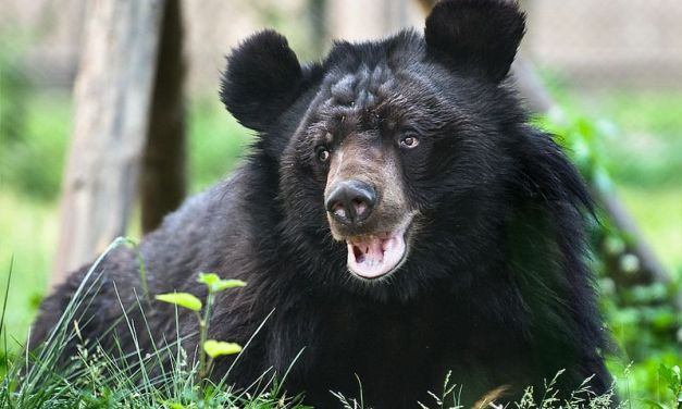 Video: Bear Rescued From Bile Industry Overcomes His Disabilities