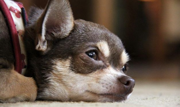 SIGN: Justice for Chihuahua Brutally Dismembered and Dumped in Trash