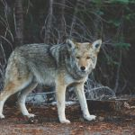 Plan to Delist America's Wolves Opens for Public Comment