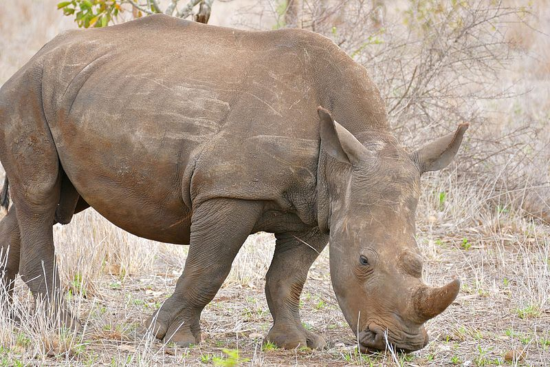 10 Years After Arrest, These Rhino Poachers are Finally Going to Prison