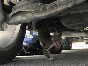 cat stuck under car