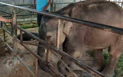 dumbo elephant dead