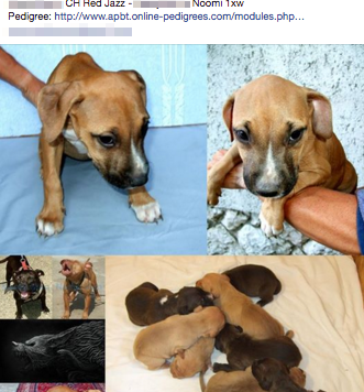 Puppies with champion fighting lineage for sale on Facebook_preview