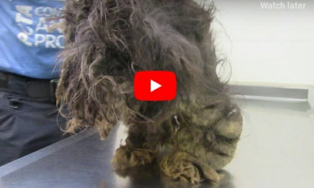 VIDEO: Dog So Matted, He Didn't Even Look Like A Dog Makes Amazing Transformation