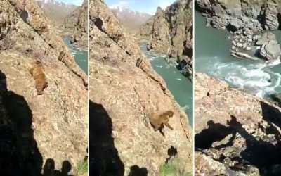 Bear falling from a cliff into the river