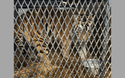 Tiger rescued from small cage in Houston