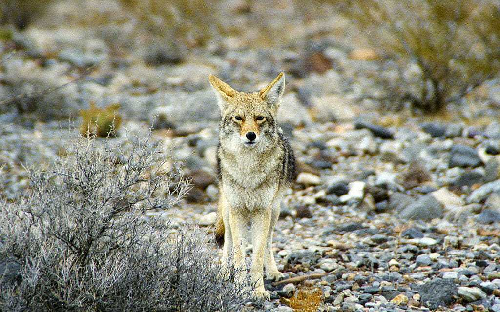 California Fur Trapping Ban Passes Senate Committee!