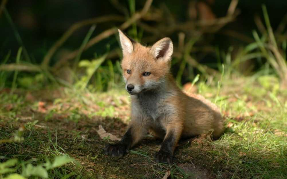 Huntsman Guilty of Feeding Live Fox Cubs to Hounds Receives
