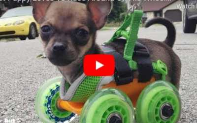 VIDEO: Tiny Puppy Born With No Front Legs Loves to Zoom Around On Wheels