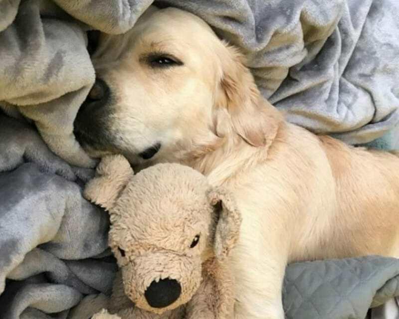 Adorable Golden Retriever Takes Tender Care of His Stuffed 'Mini-Me'