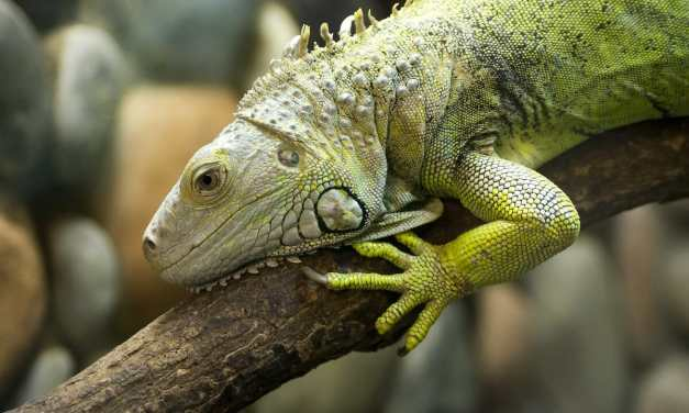 SIGN: Stop Cruel, Government-Sanctioned Massacre of Florida's Iguanas