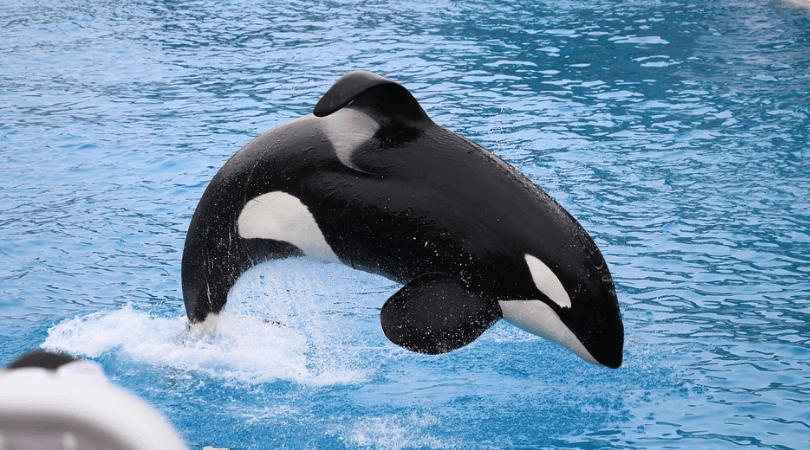 Victory for Cetaceans! Virgin Holidays Stops Booking Captive Whale and Dolphin Attractions