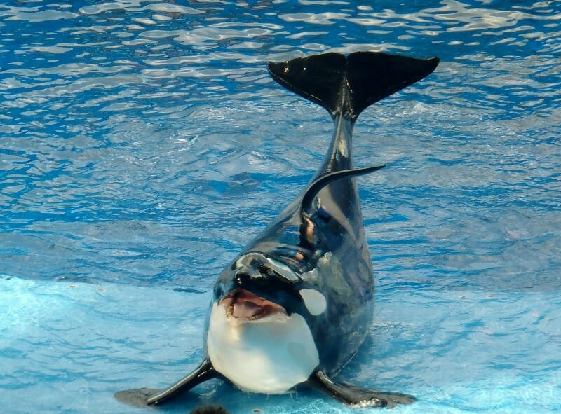 Former Trainers Accuse SeaWorld of Drugging and Starving Whales